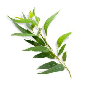 Olio Essenziale - Eucalipto Smithii